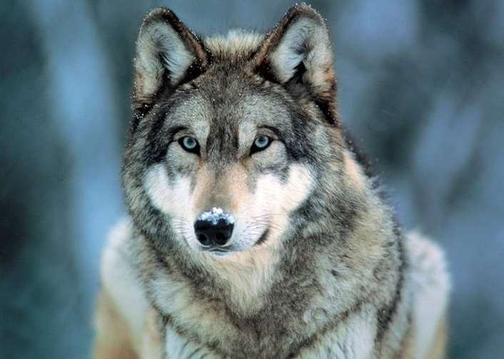 Grey Wolf - P265