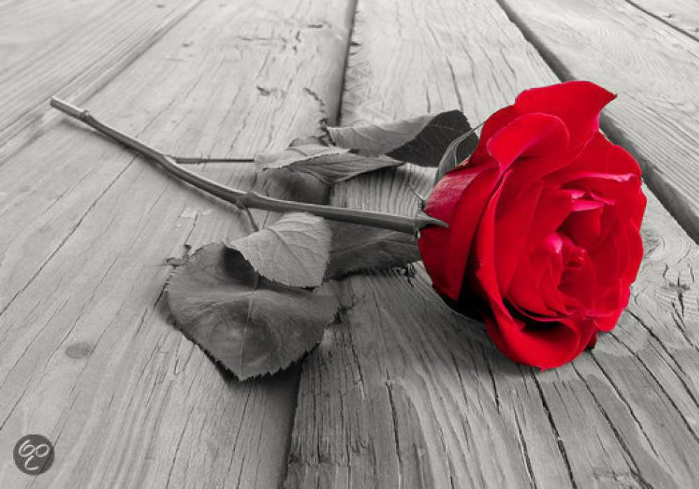 Red Rose on Wood - P296