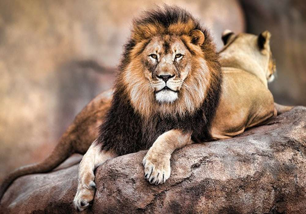 King of the Pride - P364