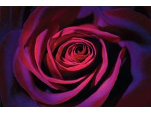DARK PURPLE ROSE - P292