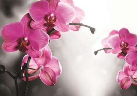 Orchid on Grey FW231 - For Wall