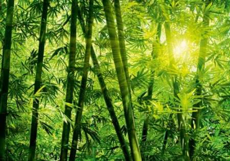 Bamboo Forest - W+G