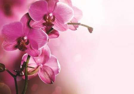 Pink Orchid - For Wall