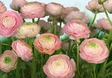 Gentle Rose - Komar
